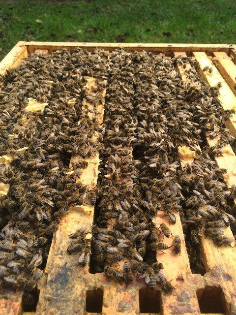 ana arılar