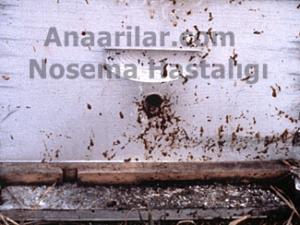Arılarda Nosema Hastalığı