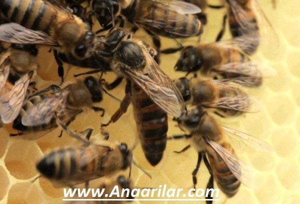 Anadolu Ana Arı ve Özellikleri