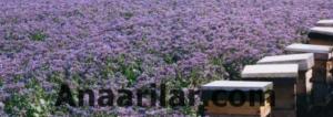 Bal veren bitkiler