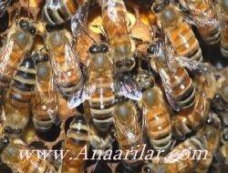 Belfast arı