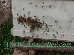 arılarda yagmacılık