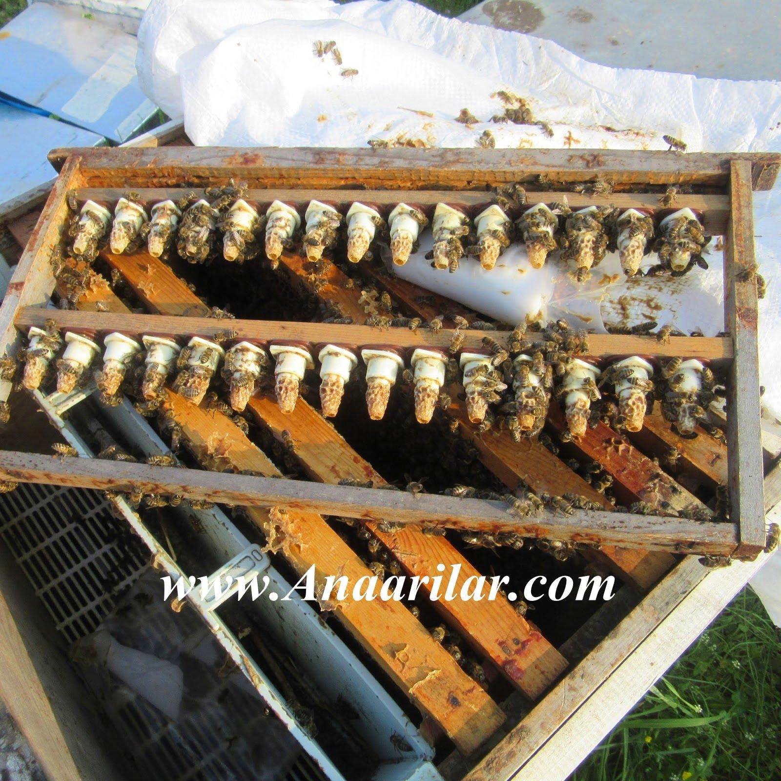 ana arı uretımı
