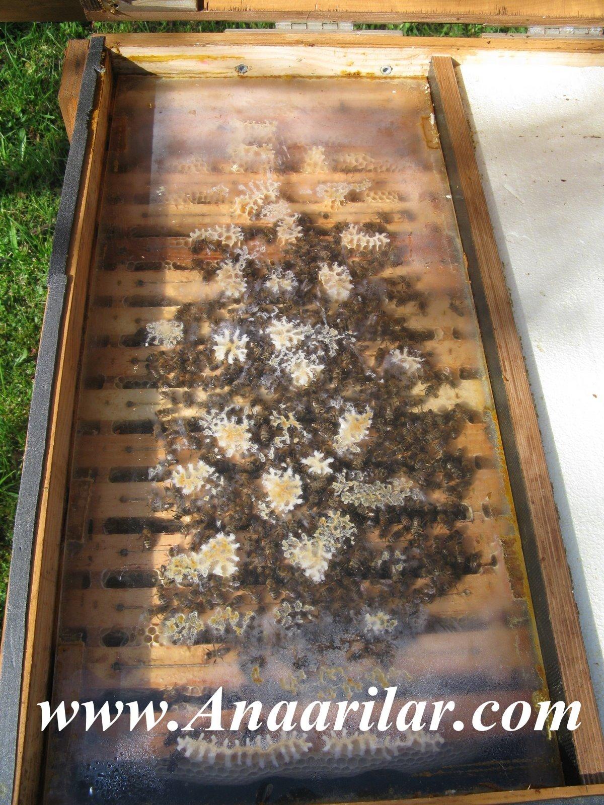 salkım arı