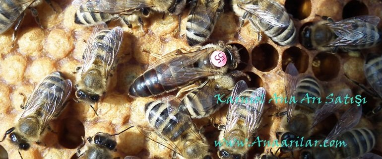 karniyol ana arı