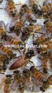 italyan ana arı