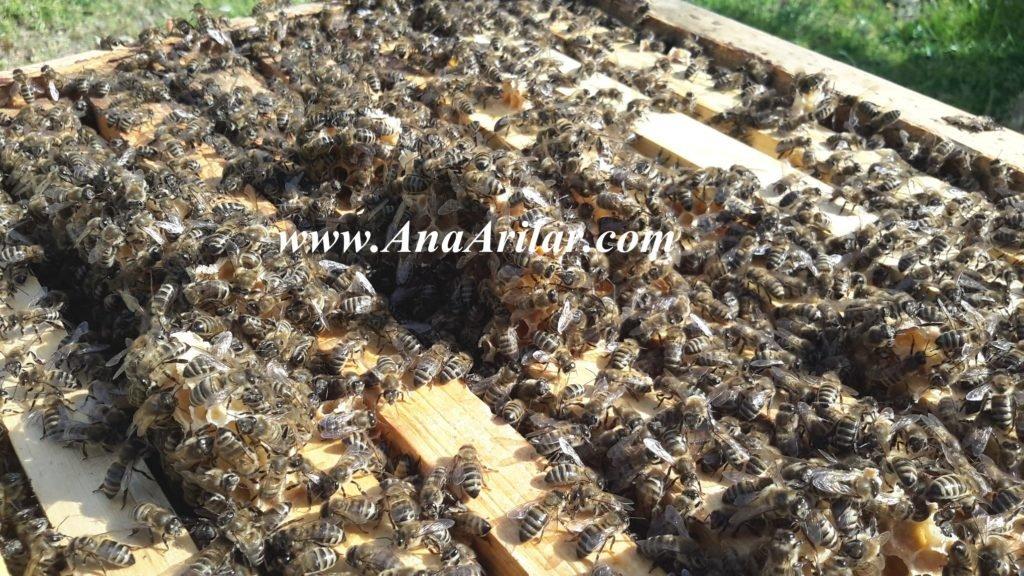 kafkas arı