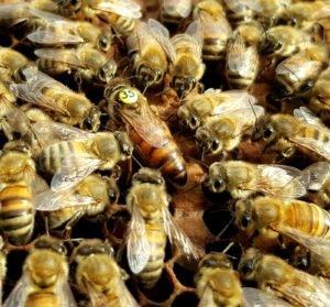 Belfast damızlık ana arı
