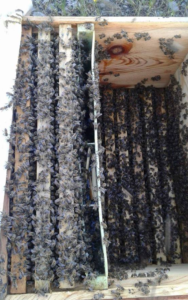 satılık arı