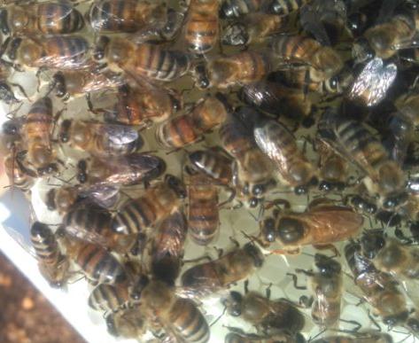 belfast ana arı