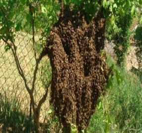 oğul arı