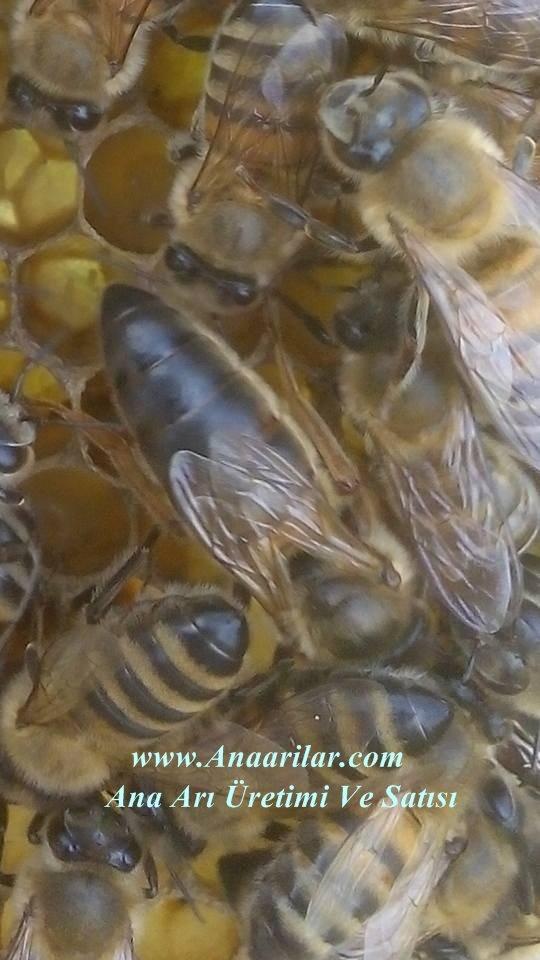 karnıyol ana arı