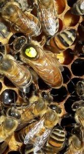 ana arı satanlar