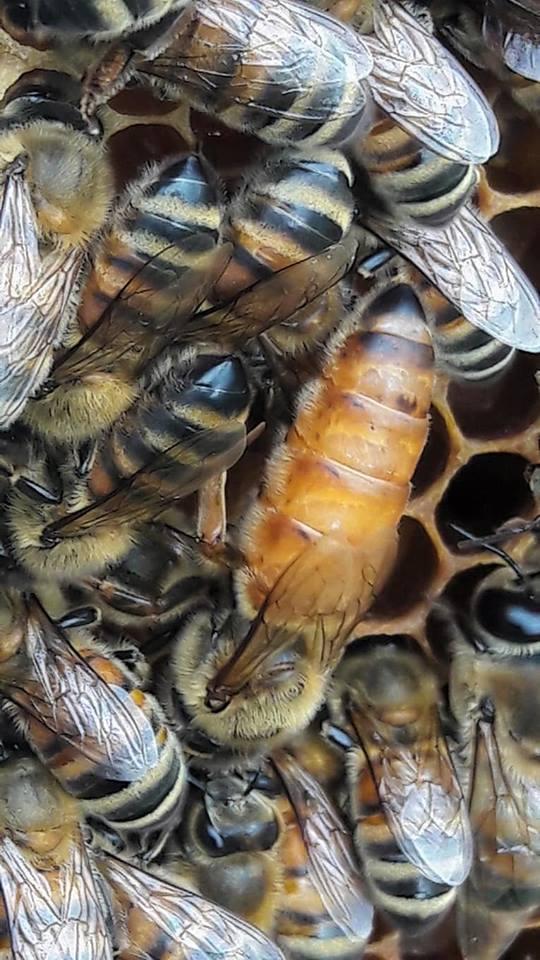 belfast ana arı üretimi