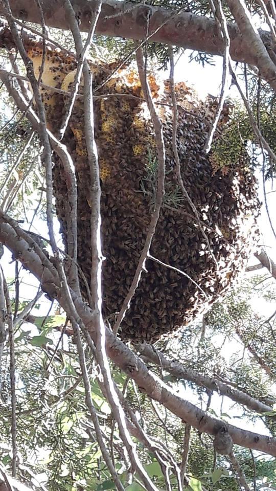 doğal arı