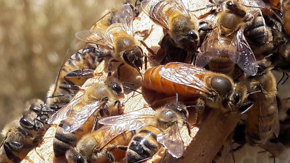 ana arı kırmızı