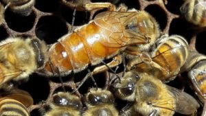 ligustıca ana arı