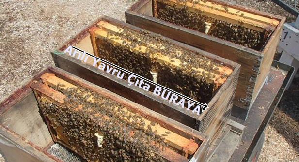 arı Bölmesi