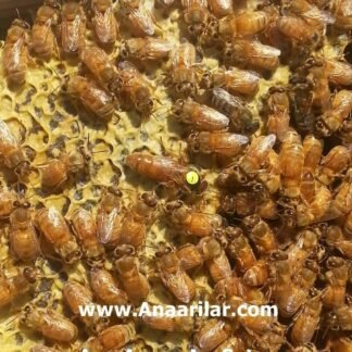 İtalyan damızlık Ana arı