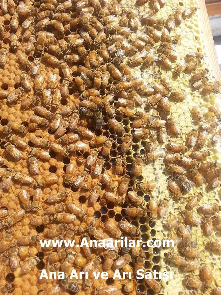 İtalyan Ana Arı Ve Özellikleri