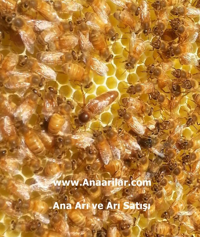 İtalyan Gold Ana arı