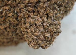 Arıların Kovanı terketmesi ve sebepleri