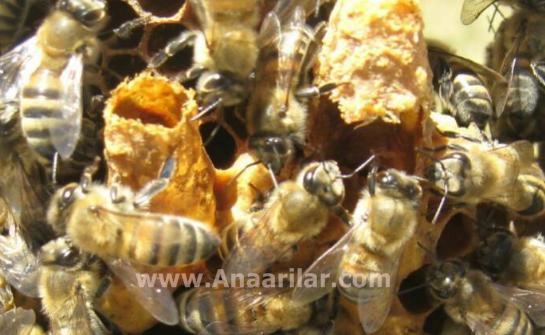 ana arı memesi
