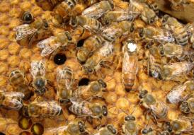 Buckfast ana arı