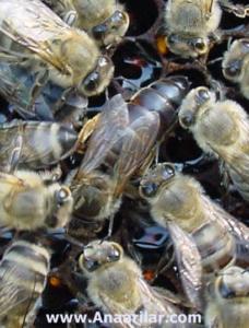 damızlık karpat ana arı