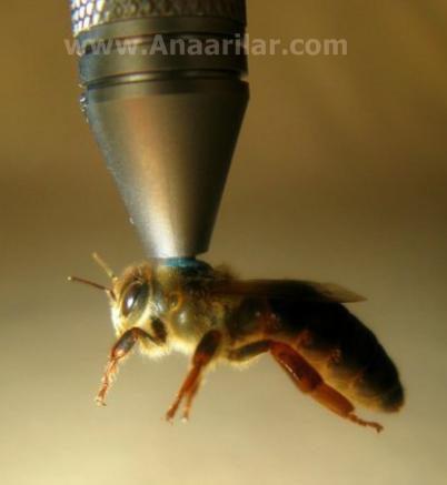 ana arı işaretleme