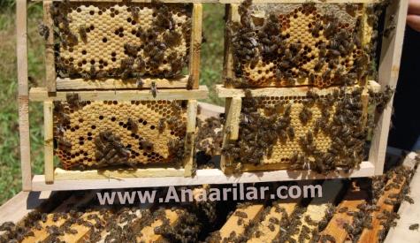 ana arı teknikleri