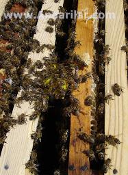 ana arı verme