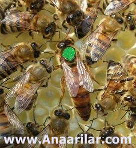 Anadolu ırkı ana arı özellikleri