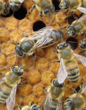 anadolu ırkı ana arı