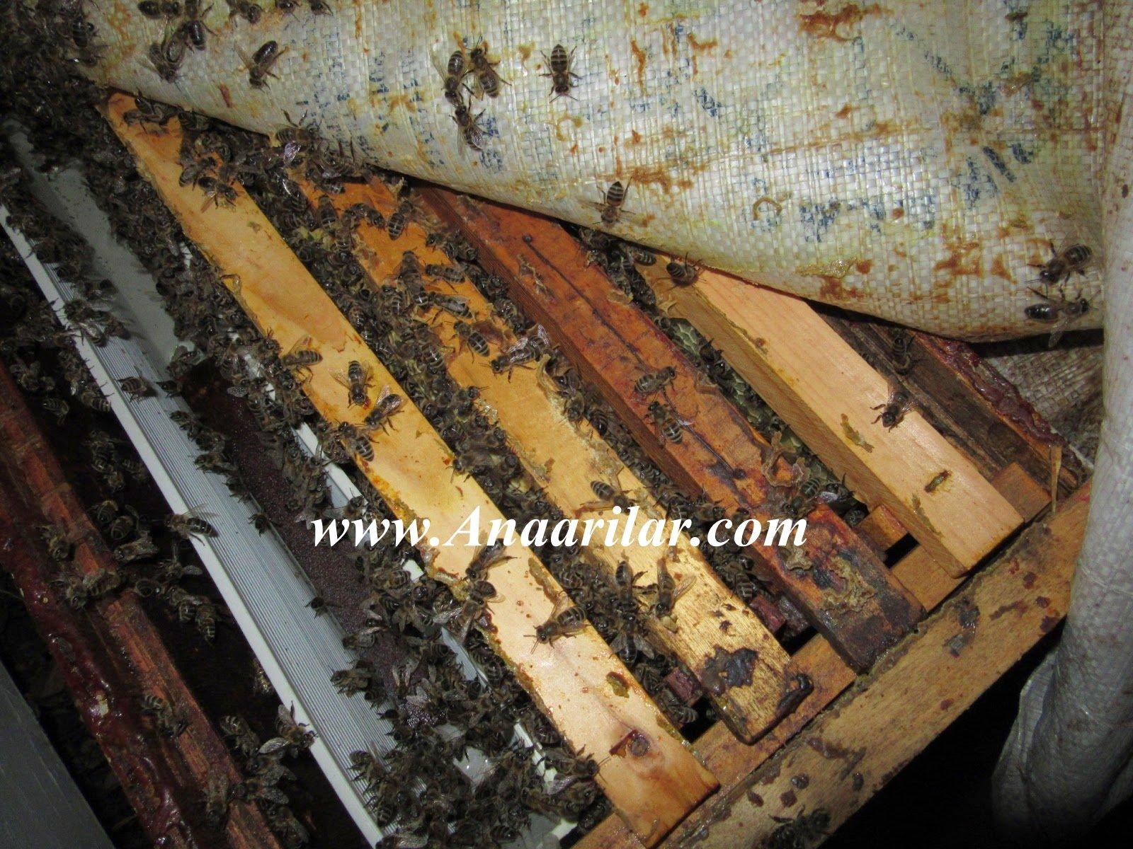 Arılarda Saldırganlık