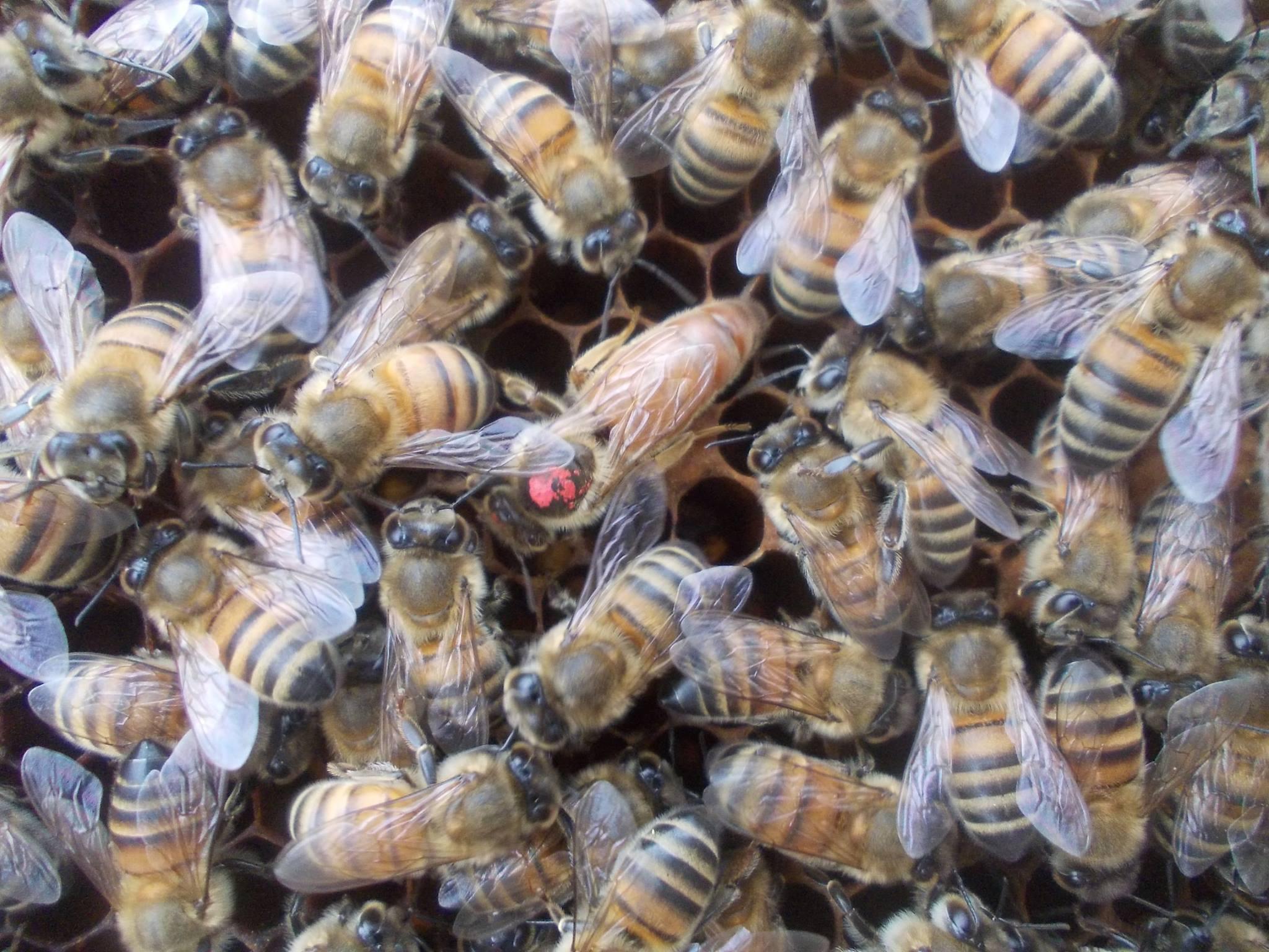 F1 Ana Arı Nedir-Ana Arı Satışı