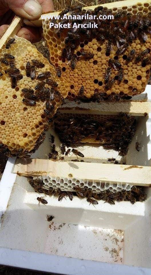 ana arı