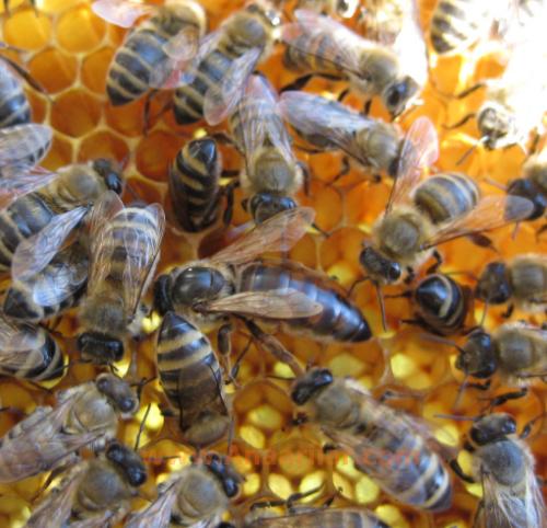 karpat ana arı