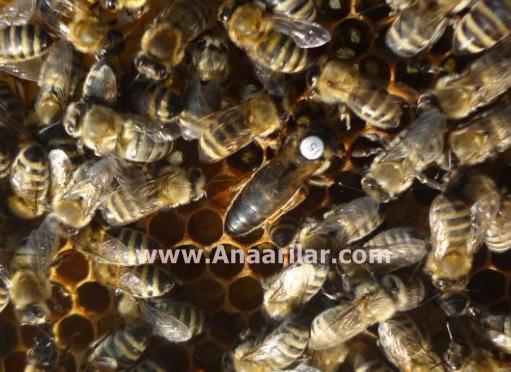 karpat damızlık ana arı