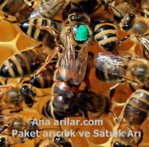 Kafkas ana arı ve özellikleri