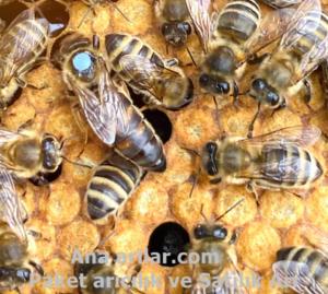 Arı Sülüsyonu