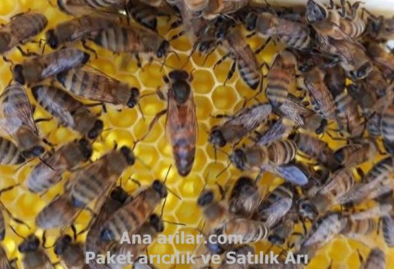 Ana Arısı Olmayan Kovana Ana Arı Vermek