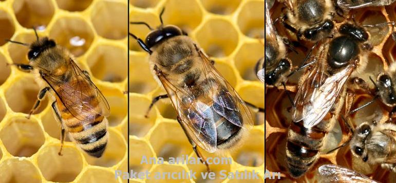 Arıcılık Paket Arı