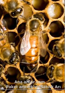 Kıbrıs Ana Arı Irkı