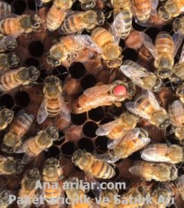 kıbrıs ana arı ırkı