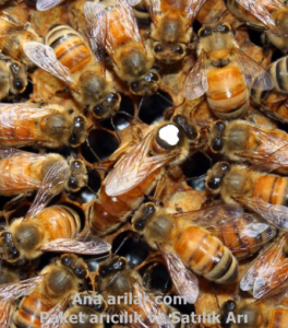 İtalyan Ana Arı Bal verimi