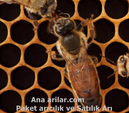 Ana Arı Meme Satışı